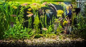 Aquarium mit Süßwasserfischen